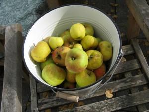 Boskoop Äpfel Ernte im Emaille-Eimer von Ib Laursen