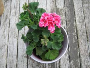 Pflanzen für den sonnigen Südbalkon - Pelargonie - Geranie