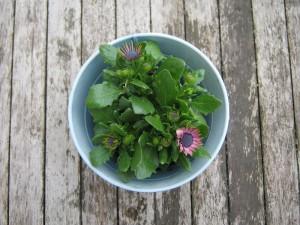 BK_ Balkonpflanzen für sonnigen Balkon _4916 - Margerite von Bornholm