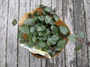 BK_ Pflanzen für sonnigen bis halbschattigen Standort _4913 - Schokoladenminze - Schokominze