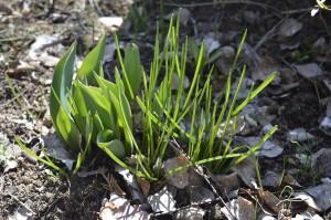 Garten im März - Tulpen und Scilla