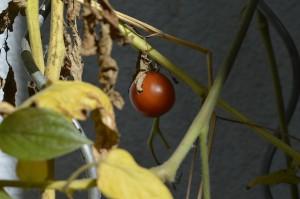 Tomate im Herbst